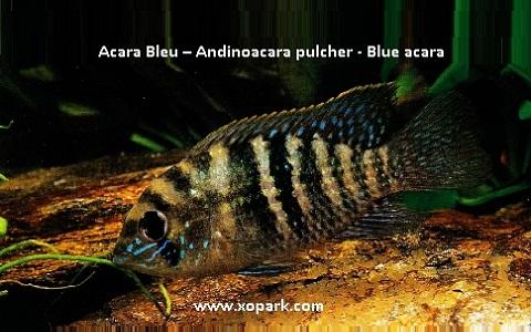 xopark10Acara-Bleu—Andinoacara-pulcher—Blue-acara