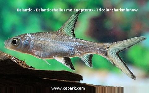 xopark10Balantio—Balantiocheilus-melanopterus—Tricolor-sharkminnow