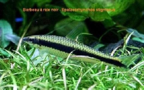 xopark10Barbeau-à-raie-noir—siamese-algae-eater-lg