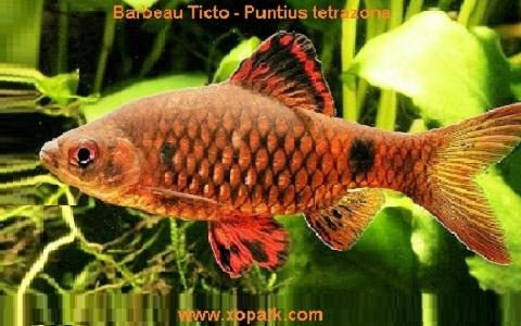 xopark10Barbeau-Ticto—Puntius-tetrazona