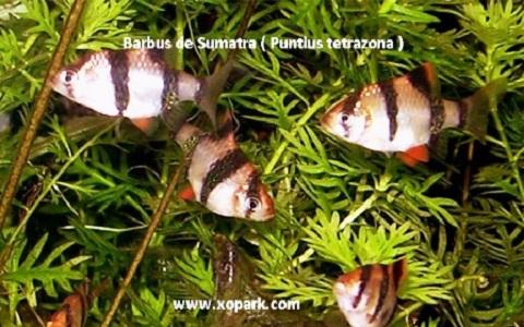 xopark10Barbus-de-Sumatra—Puntius-tetrazona—Tiger-barb