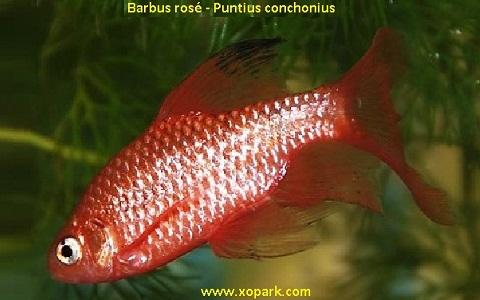 xopark10Barbus-rosé—Barbus-conchonius—Rosy-barb