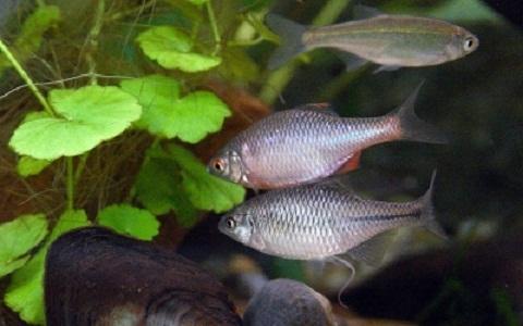 xopark10Bouviere—Rhodeus-sericeus-amarus