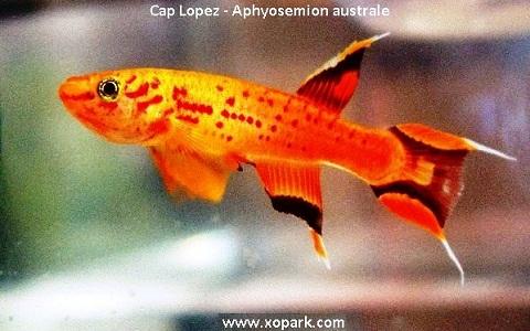 xopark10Cap-Lopez—Aphyosemion-australe—Cape-Lopez-lyretail