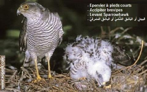 xopark10Epervier-à-pieds-courts—Accipiter-brevipes—Levant-Sparrowhawk