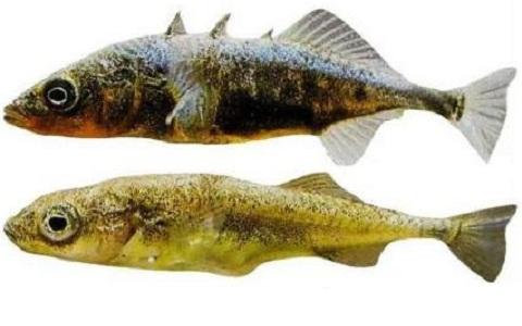 xopark10Epinoche—Stickleback—Gasterosteus-aculeatus