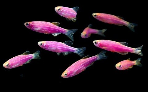 xopark10Poisson-zèbre—Danio-rerio—Zebrafish
