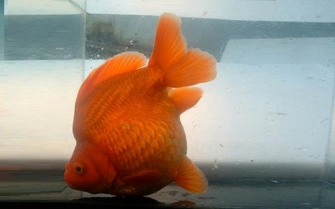 xopark10Ryukin—Ryukin-Goldfish