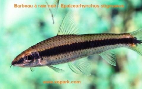 bbbbbb-noir—siamese-algae-eater-lg