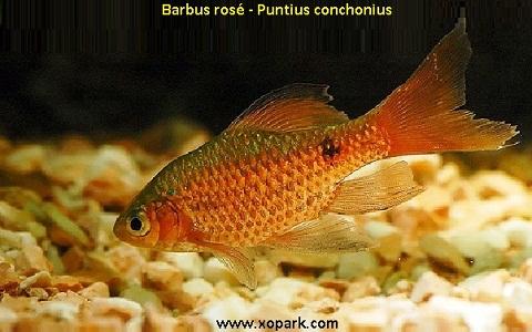 xopark11Barbus-rosé—Barbus-conchonius—Rosy-barb