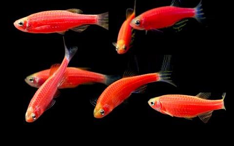 xopark11Poisson-zèbre—Danio-rerio—Zebrafish