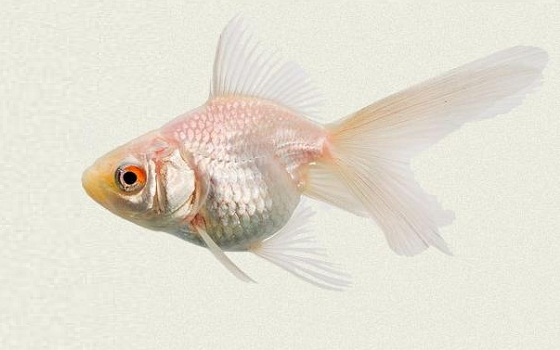 xopark11Ryukin—Ryukin-Goldfish