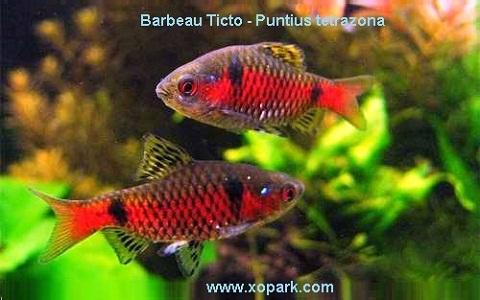 xopark12Barbeau-Ticto—Puntius-tetrazona