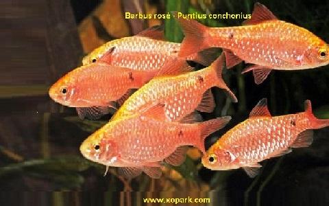 xopark12Barbus-rosé—Barbus-conchonius—Rosy-barb