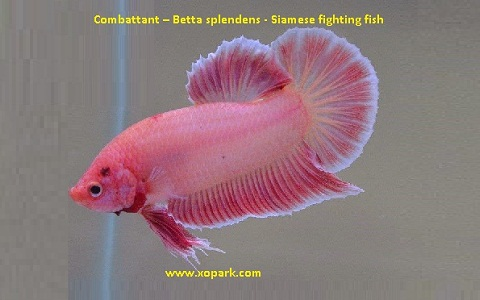 xopark12Combattant—Betta-splendens—Siamese-fighting-fish