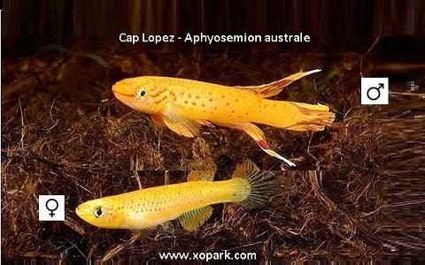 xopark13Cap-Lopez—Aphyosemion-australe—Cape-Lopez-lyretail