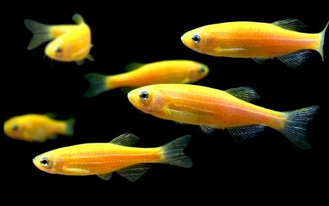 xopark13Poisson-zèbre—Danio-rerio—Zebrafish
