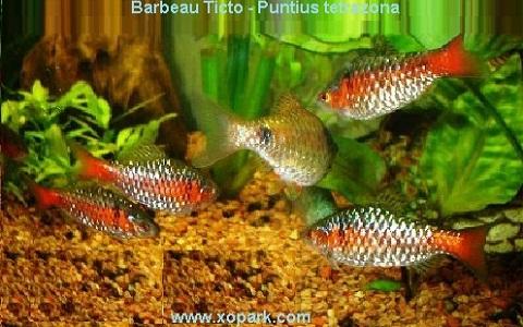 xopark14Barbeau-Ticto—Puntius-tetrazona