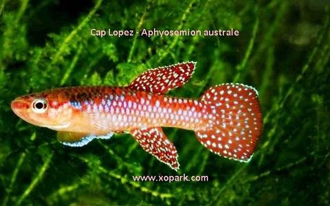 xopark16Cap-Lopez—Aphyosemion-australe—Cape-Lopez-lyretail