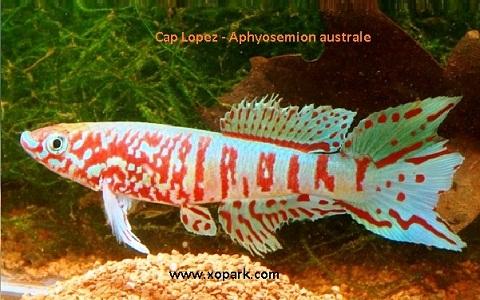 xopark19Cap-Lopez—Aphyosemion-australe—Cape-Lopez-lyretail