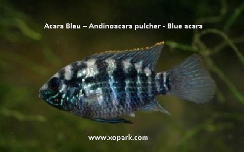 xopark1Acara-Bleu—Andinoacara-pulcher—Blue-acara