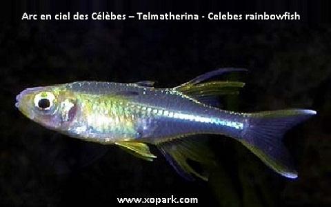 xopark1Arc-en-ciel-des-Célèbes—Telmatherina—Celebes-rainbowfish