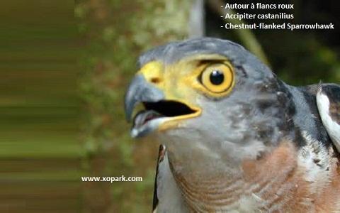 xopark1Autour-à-flancs-roux—Accipiter-castanilius—Chestnut-flanked-Sparrowhawk