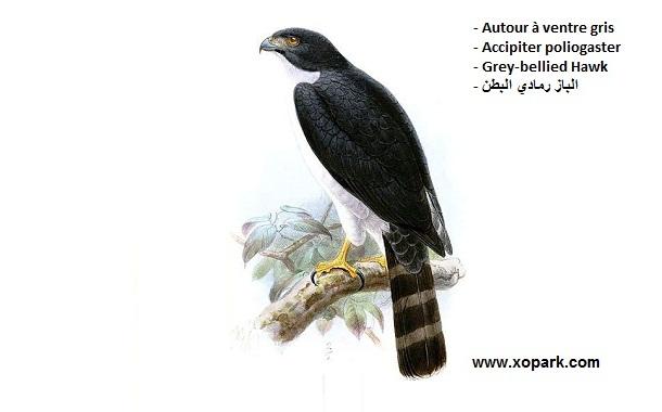 xopark1Autour-à-ventre-gris—Accipiter-poliogaster—Grey-bellied-Hawk
