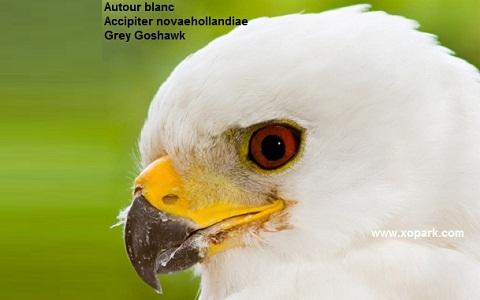 xopark1Autour-blanc—Accipiter-novaehollandiae—Grey-Goshawk