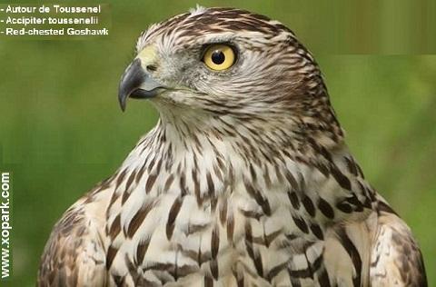 xopark1Autour-de-Toussenel—Accipiter-toussenelii—Red-chested-Goshawk