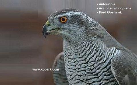 xopark1Autour-pie—Accipiter-albogularis—Pied-Goshawk