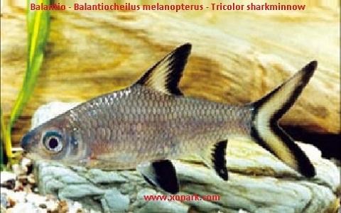 xopark1Balantio—Balantiocheilus-melanopterus—Tricolor-sharkminnow