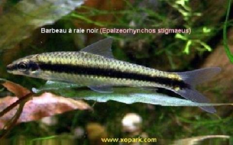 xopark1Barbeau-à-raie-noir—siamese-algae-eater-lg