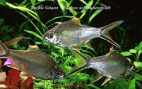 xopark1Barbu-Géant—Barbus-schwanenfeldi—Tinfoil-barb