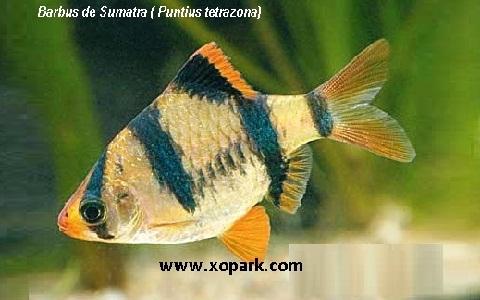 xopark1Barbus-de-Sumatra—Puntius-tetrazona—Tiger-barb