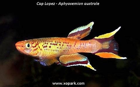 xopark1Cap-Lopez—Aphyosemion-australe—Cape-Lopez-lyretail