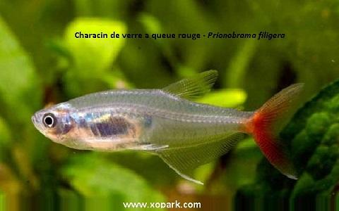 xopark1Characin-de-verre-à-queue-rouge—Prionobrama-filigera—Glass-bloodfin