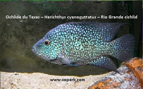 xopark1Cichlide-du-Texas—Herichthys-cyanoguttatus—Rio-Grande-cichlid