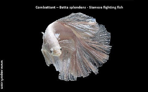 xopark1Combattant—Betta-splendens—Siamese-fighting-fish