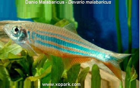xopark1Danio-Malabaricus—Malabar-danio—Malabar