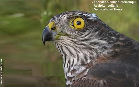 xopark1Epervier-à-collier-interrompu—Accipiter-collaris—Semicollared-Hawk