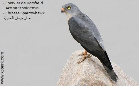 xopark1Epervier-de-Horsfield—Accipiter-soloensis—Chinese-Sparrowhawk