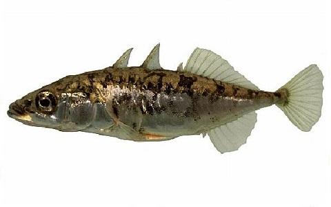 xopark1Epinoche—Stickleback—Gasterosteus-aculeatus