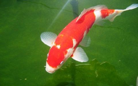 xopark1Koi-bicolor—Gloria-bicolor—Koi-bicolore