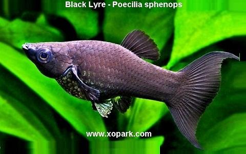 xopark1Molly-noir—Black-Lyre—Poecilia-sphenops