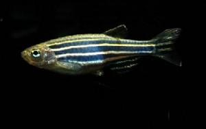 Danio - Zebrafish