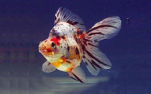 xopark1Ryukin—Ryukin-Goldfish