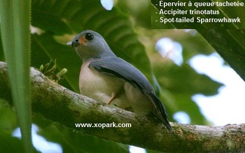 xopark1epervier-à-queue-tachetée—Accipiter-trinotatus—Spot-tailed-Sparrowhawk