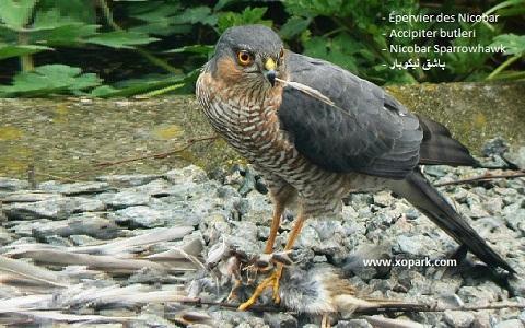 xopark1epervier-des-Nicobar—Accipiter-butleri—Nicobar-Sparrowhawk