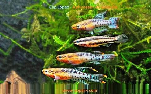 xopark20Cap-Lopez—Aphyosemion-australe—Cape-Lopez-lyretail
